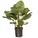 Online Designer Living Room Calathea Floor Foliage Plant in Pot