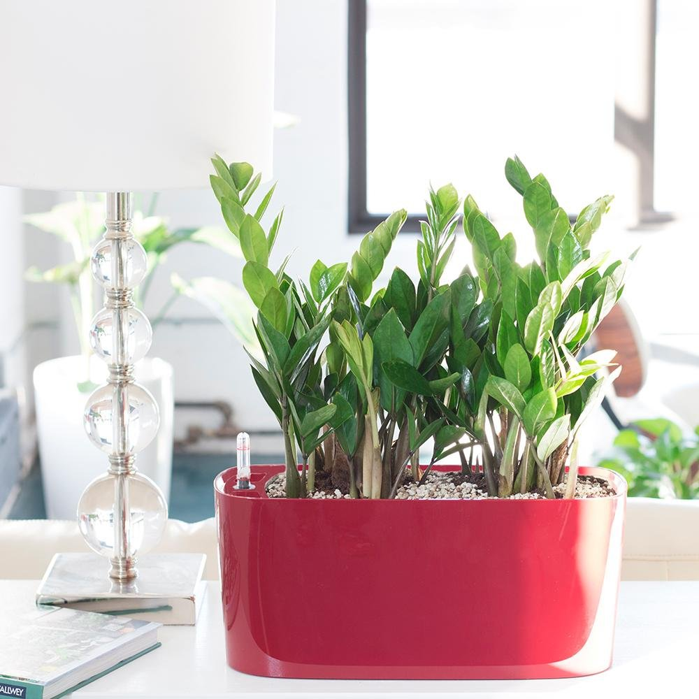 low maintenance houseplant zz plant