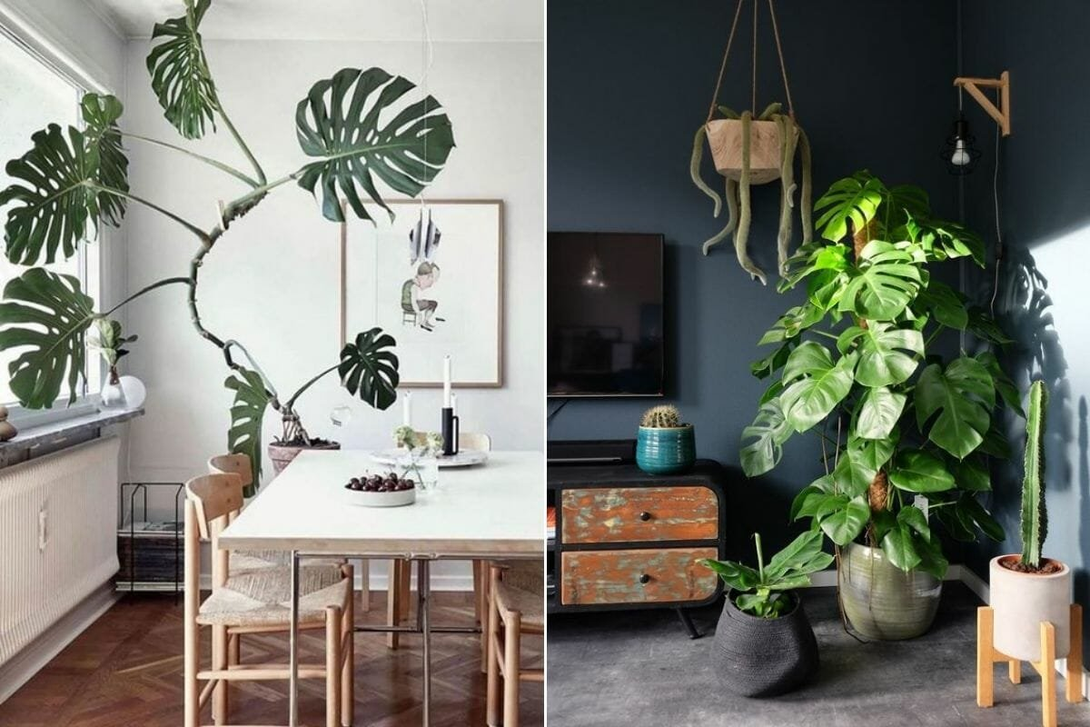 Interior decorating with monstera plants